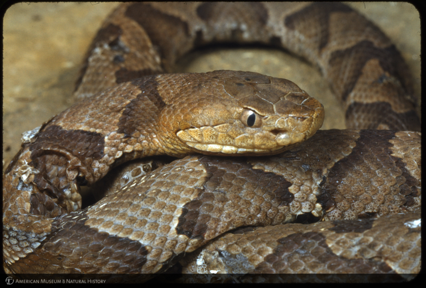Copperhead Snake | www.imgkid.com - The Image Kid Has It!