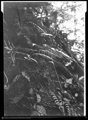 http://lbry-web-002.amnh.org/san/to_upload/Beck-PapuaNewGuinea/NG-5x7-negs/115601.jpg