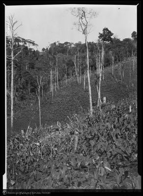 http://lbry-web-002.amnh.org/san/to_upload/Beck-PapuaNewGuinea/NG-5x7-negs/115722.jpg