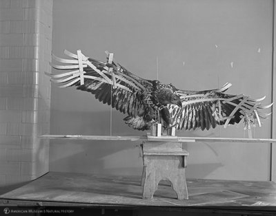 http://images.library.amnh.org/d/t/8x10/0002/00328471_l.jpg