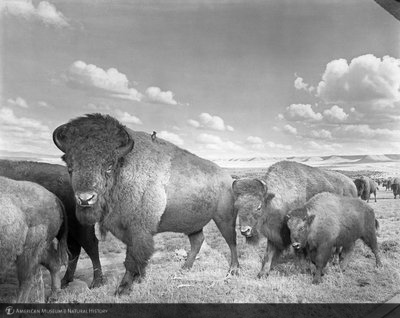http://images.library.amnh.org/d/t/8x10/0001/00318958_l.jpg