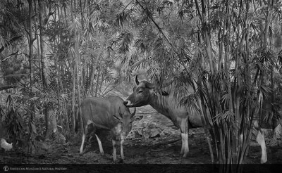 http://images.library.amnh.org/d/t/8x10/0002/00313305_l.jpg