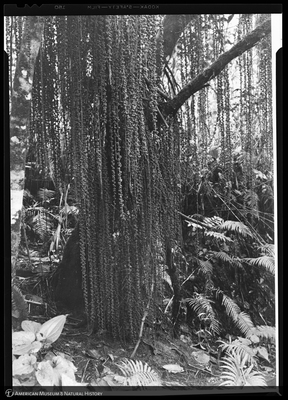 http://lbry-web-002.amnh.org/san/to_upload/Beck-PapuaNewGuinea/NG-5x7-negs/117454.jpg